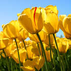 alt text for Tulips
